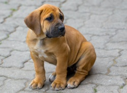 Boerboel - South African Mastiff