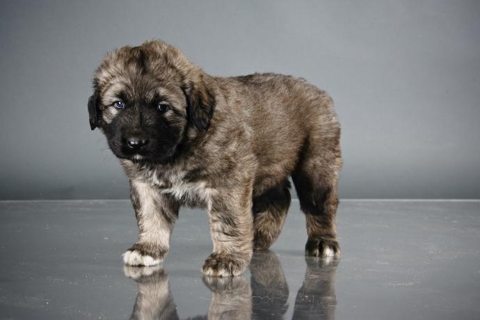 Caucasian Shepherd Dog